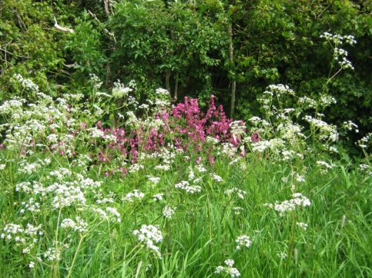 IMG_4677Cow Parsley and Red Campion (640x480)