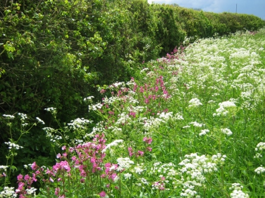 IMG_4679Cow Parsley and Red Campion (640x480)