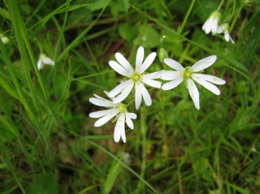 IMG_4681Greater Stitchwort (640x480)