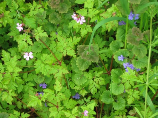 IMG_4685Herb-robert and Ground-ivy (640x480)