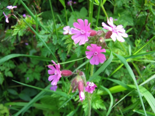 IMG_4691Red Campion (640x480)