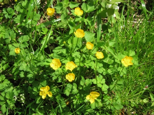 IMG_4696Creeping Buttercup (640x480)