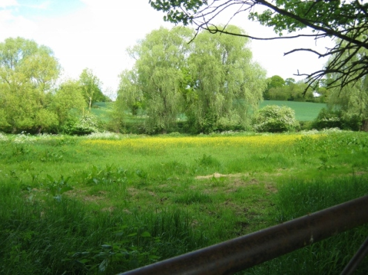 IMG_4697Field with buttercups (640x480)