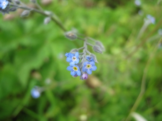 IMG_4705Forget-me-not (640x480)