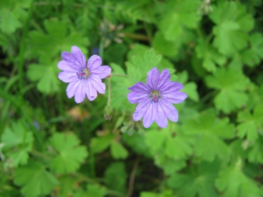 IMG_4732Hedgerow Crane's-bill (640x480)