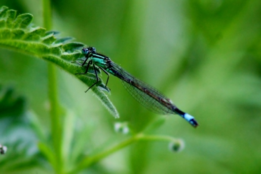 IMG_2270Female Blue-tailed Damselfly (2) (640x427)