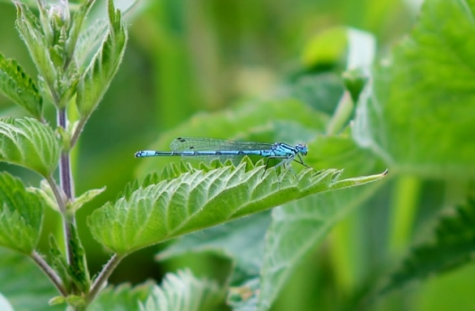 IMG_2271Male Azure Damselfly (2) (640x420)