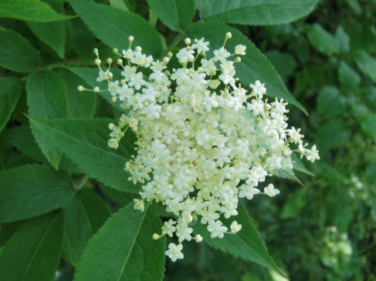 IMG_4819Elderflower (640x480)