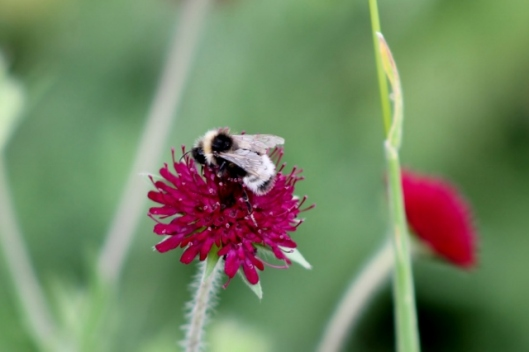 IMG_2313Bee on scabious (640x427)