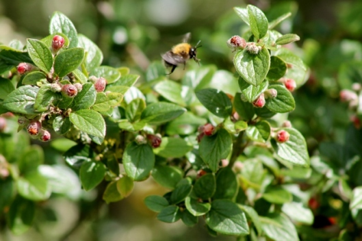 IMG_2320Bee on Cotoneaster (640x427)