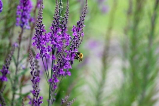 IMG_2321Bee on Purple Toadflax (640x427)