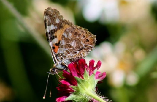 IMG_2329Painted Lady on scabious (2) (640x416)