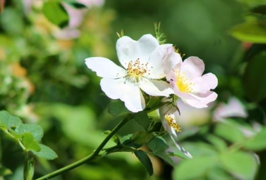 IMG_2333Dog Rose (2) (640x434)