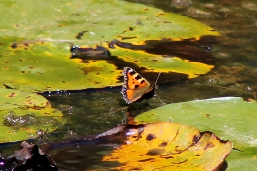 IMG_2340Small Tortoiseshell on pond (2) (640x428)