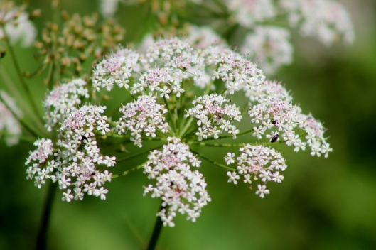IMG_2350Ground Elder (640x427)