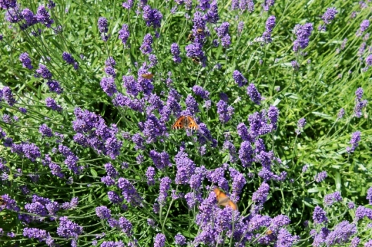 IMG_2359Insects on lavender (640x427)