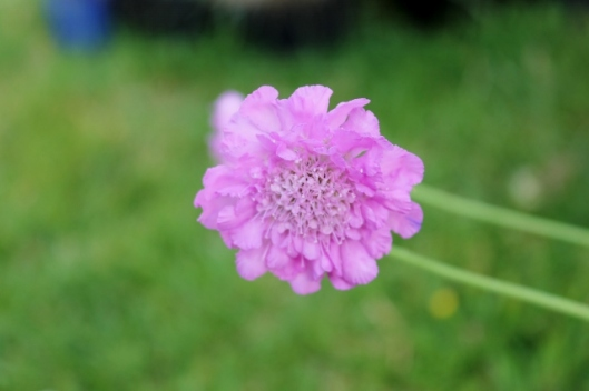 IMG_2379Scabious (640x427)