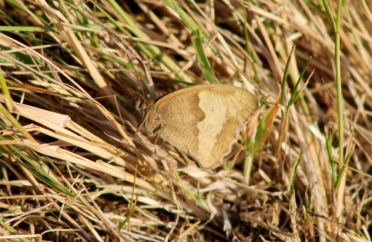 IMG_2386 (2)Meadow Brown (640x417)