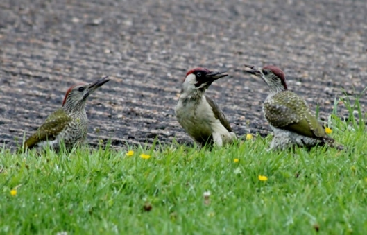 IMG_2404Adult and fledgling Green Woodpeckers (2) (640x411)
