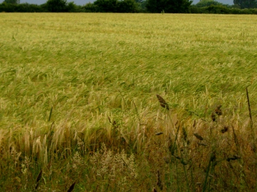 IMG_4893Field of barley (640x480)