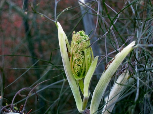 IMG_4908Bronze Fennel flower bud (640x480)