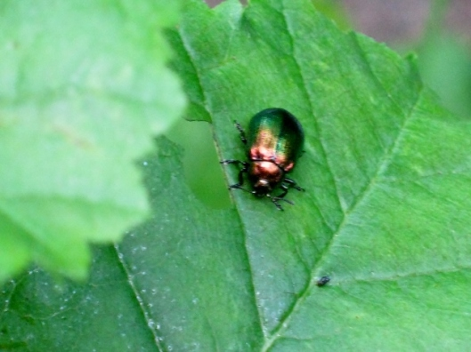 IMG_4960Chrysolina beetle (640x480)