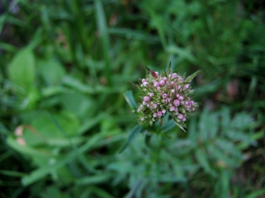IMG_4986Common Valerian (640x480)