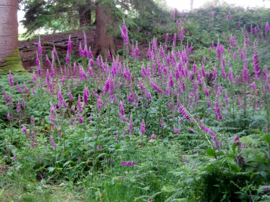 IMG_5028Foxgloves (640x480)