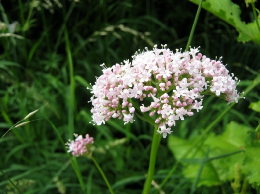 IMG_5038Common Valerian (640x480)