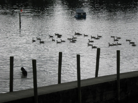 IMG_5058Poodle with geese (640x480)