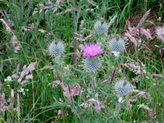 IMG_5061Spear Thistle (640x480)