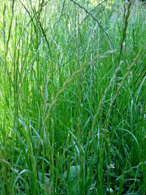 IMG_5083Perennial Rye-grass (480x640)