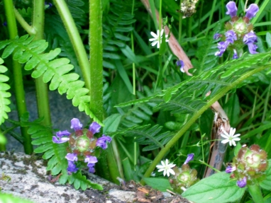 IMG_5094Self-heal and Lesser Stitchwort (640x480)