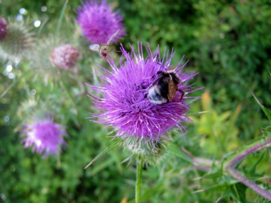 IMG_5294Bee and hoverfly on Spear Thistle (640x480)