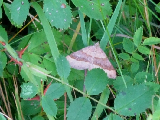 IMG_5295Moth Shaded Broad Bar perhaps (640x480)