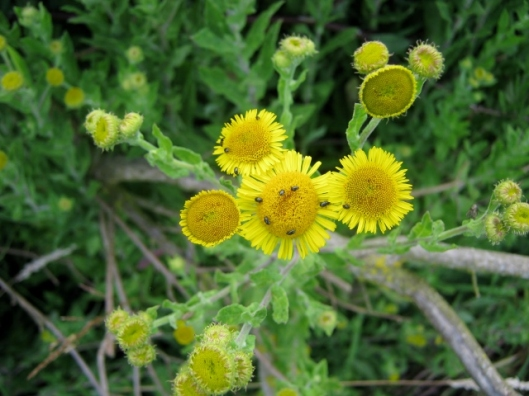 IMG_5296Common Fleabane with pollen beetles (640x480)