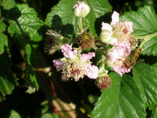 IMG_5307Hoverfly on bramble flowers (640x480)