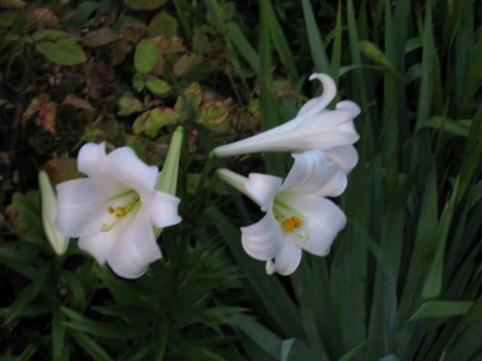 IMG_5330White lilies (640x480)