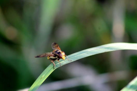 IMG_2428Hoverfly (640x427)