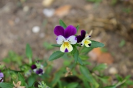 Self-seeded Viola