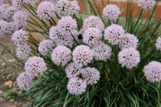 IMG_2439Allium with bees (640x427)