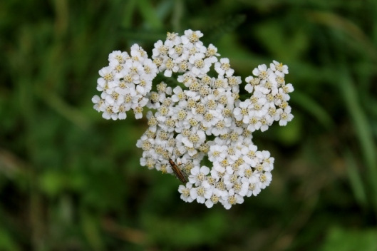 IMG_2444Yarrow and bug or beetle (640x427)