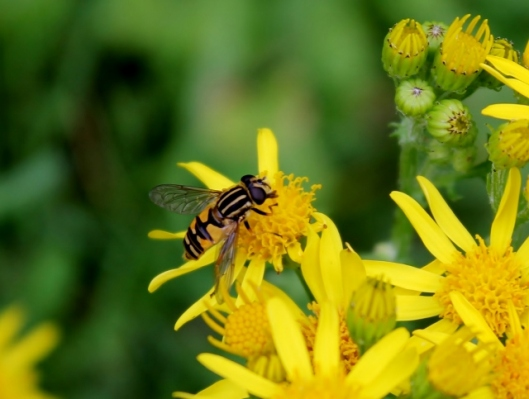 IMG_2446Ragwort with hoverfly Helophilus (2) (640x483)