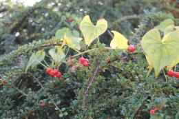 Black Bryony (Tamus communis) growing through Cotoneaster horizontalis