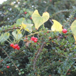 Black Bryony (Tamus communis) growing through Cotoneaster horizontalis