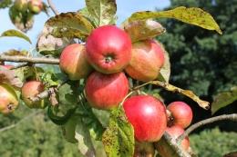 Eating apples 'Saturne'