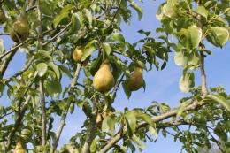 Pears 'Concorde'