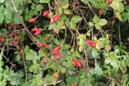 Dog-rose-hips (Rosa canina)