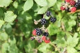 Blackberries (Rubus fruticosus agg.)