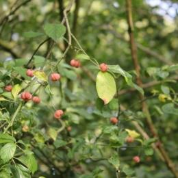 Spindle (Euonymous europaeus)